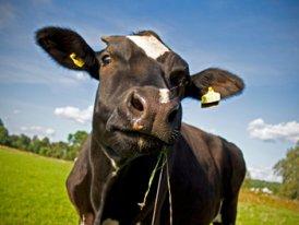 Vacas Num Prado
